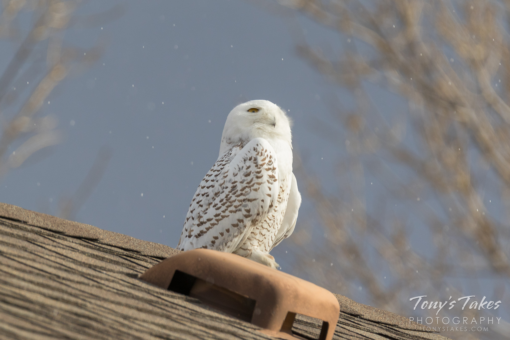 Snowy Owl enjoys a few snowflakes as a reminder of home