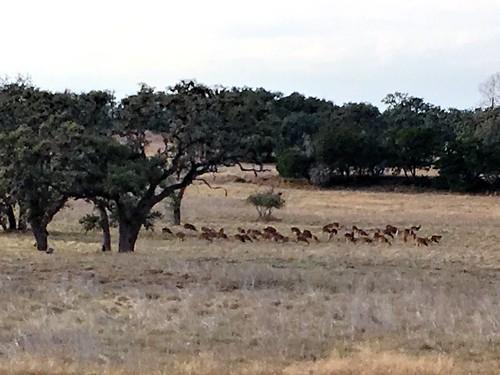 pollypeak texas usa deer iphonese apple wildlife texashillcountry banderacounty