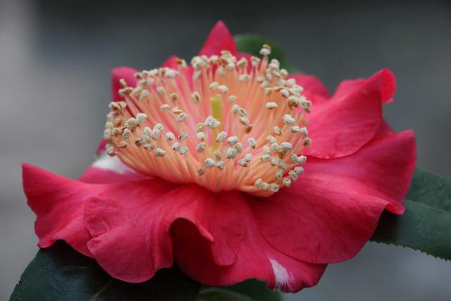 Kamelie / Camellia jap. 'Mikuni-no-homare' (red) Higo
