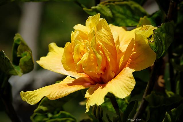 Hibiskus gelb