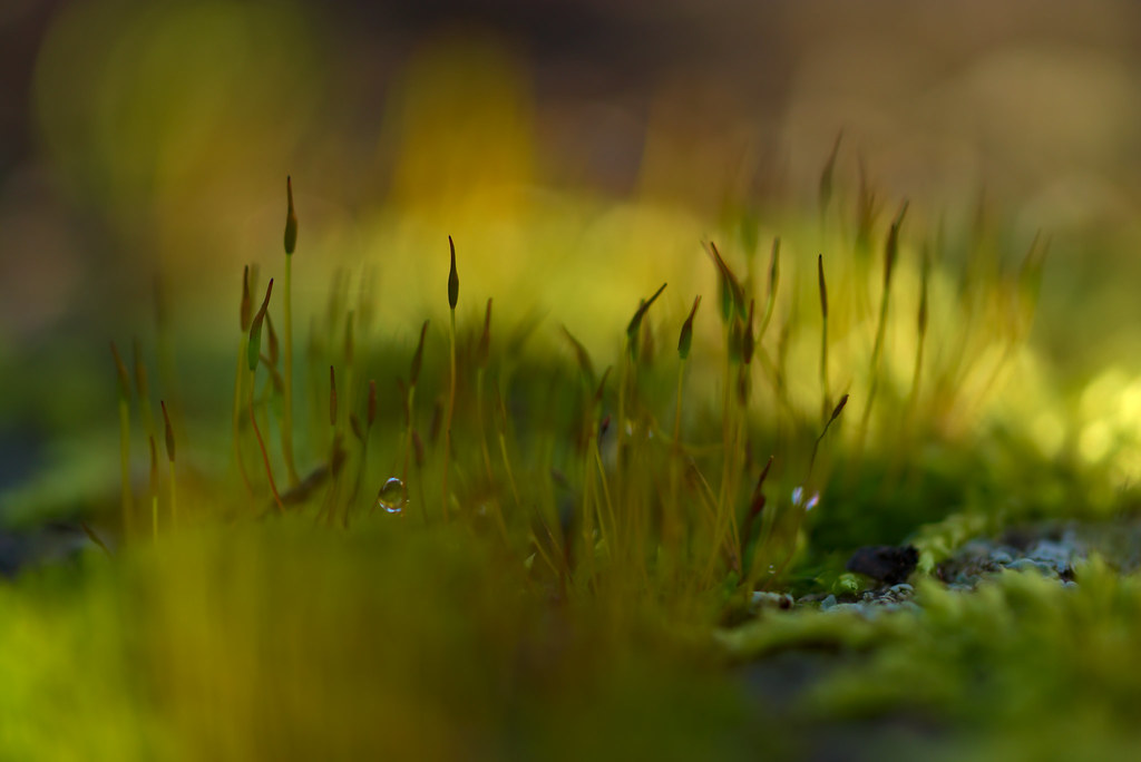 Moss with small dew drop | Samsung NX1 with NX 60mm 2 8 Macr