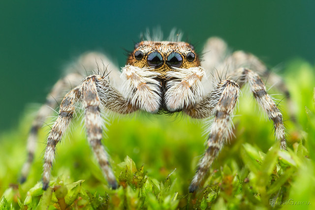 Menemerus bivittatus ♀ (Salticidae)