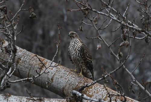 kevinlucas northerngoshawk juvenile yakimagreenwaypath poppoffsparrowpatch accipiter notlochness cojones accipitergentilis yakimacountywashingtonus