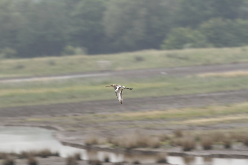 WE-JC-Project Godwit headstarted bird WWT Steart