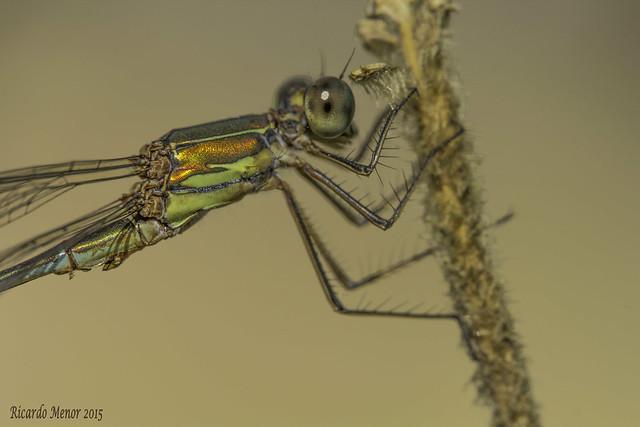 Chalcolestes viridis. Detail of the male