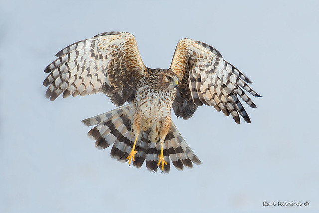 Northern Harrier Hawk female