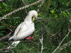 Red-footed Booby (Sula sula rubripes) by Chub G's M&D