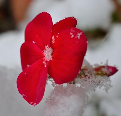 Geranium Flower in the snow | by m.shattock