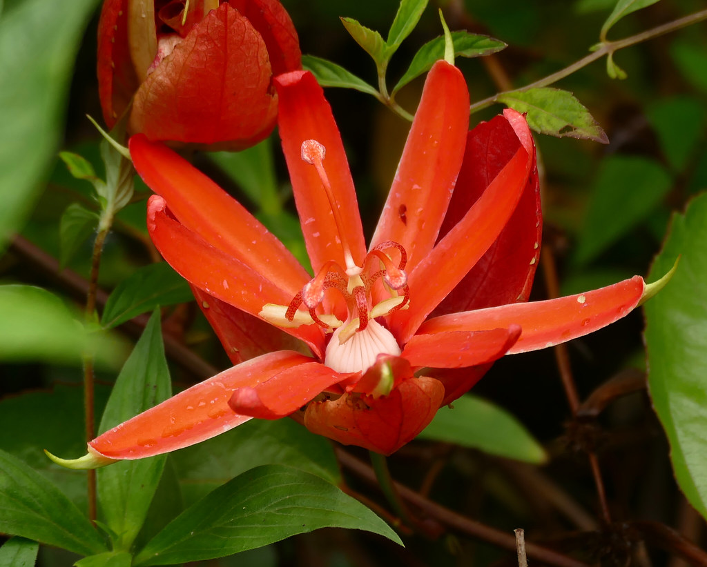 Red Passion Flower (Passiflora coccinea)