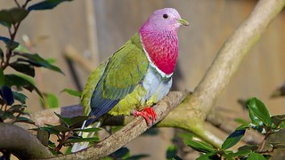 Pink Headed Fruit Dove | by Terry Kearney