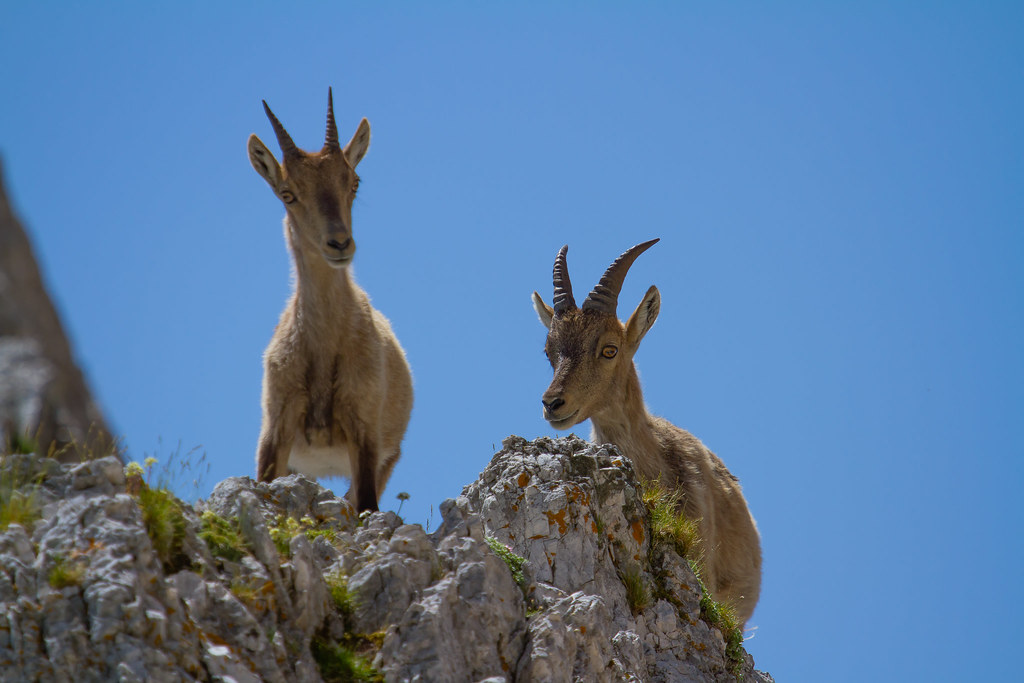 Giovani fratelli. Young Ibex brothers.