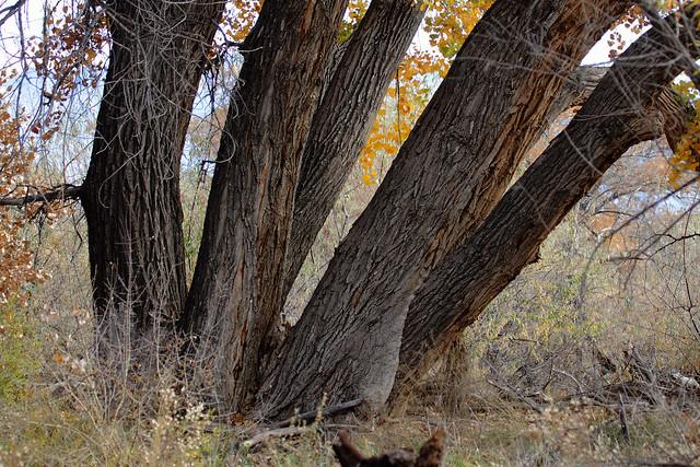 Cottonwood Tree Boles; Albuquerque, NM, Rio Grande Nature Center [Lou Feltz]