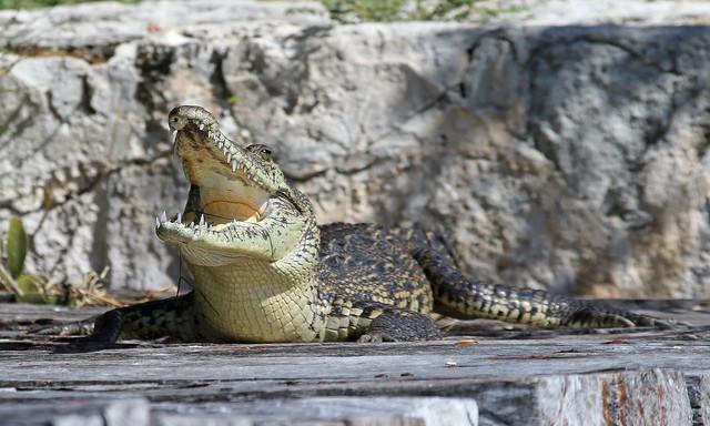 Cancun Croc