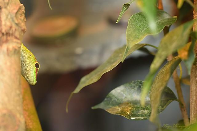 The ballad of the Green Lizard...