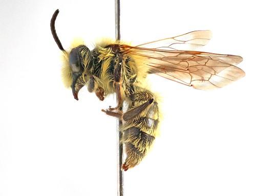 Andrena hirticincta