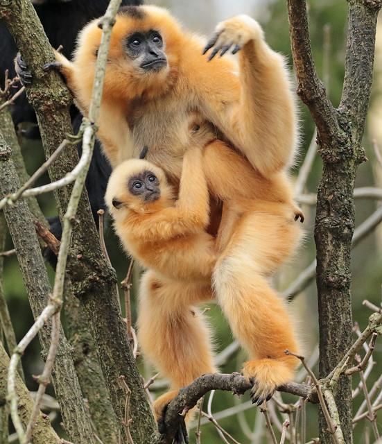 yellowcheeked gibbon artis BB2A9240