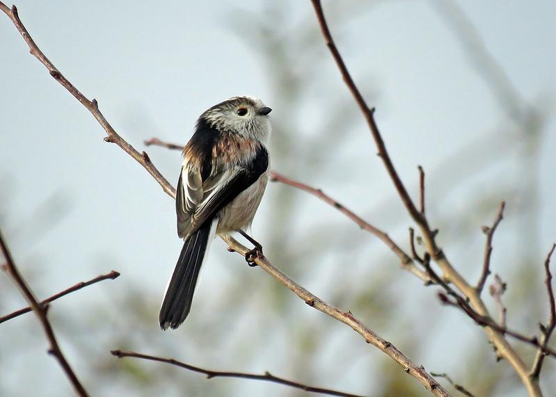 Long-tailed Tit - Aegithalos caudatus