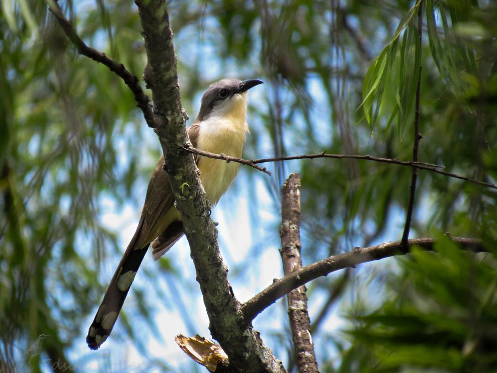 papa-lagarta-acanelado (Coccyzus melacoryphus) Dark-billed Cuckoo