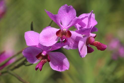 Orchid - Cebu Safari & Adventure Park | by eazytraveler