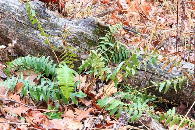 Christmas fern (Polystichum acrostichoides) at Lake Meyer Park IA 854A2428