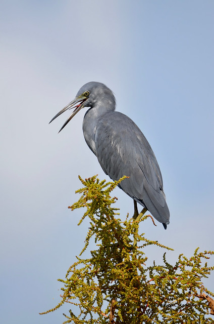 Little Blue Heron with tongue at NLAWD