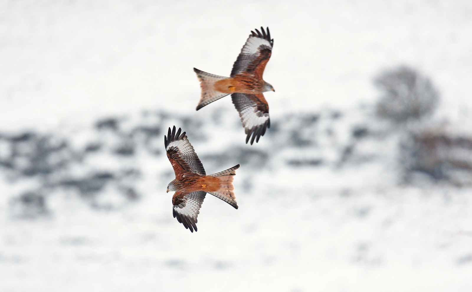 Red Kite - Red Arrows