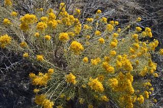 Ericameria viscidiflora 2017.10.9.1 | by geodesert