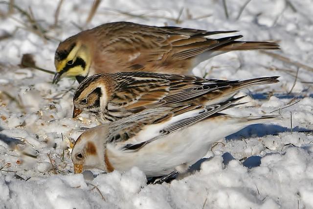 3 Birds in the Corn field