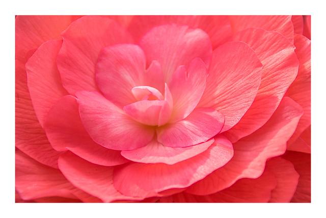 97/100: The big begonia