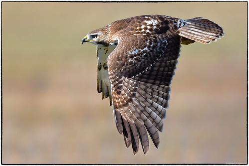 d500 nikkor600f4evr 14xtciii raphaelkopanphotography cvginternationalairport kentucky wildlife