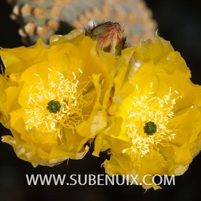 Opuntia microdasys-5