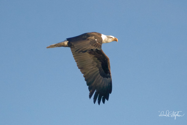 Bald Eagle Flies By