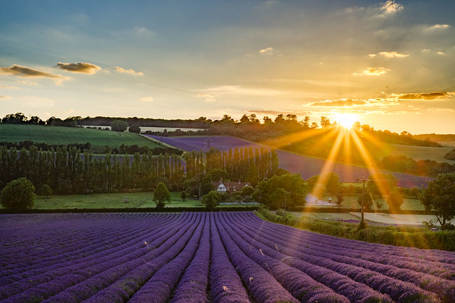 Lavender field in Otford, UK
