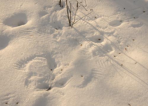 northerncardinal cardinaliscardinalis tommuir winter tracks woodcounty perrysburg ohio nikon d800 nature outdoor ironwood ostryavirginiana american hardhack hackmatack leverwood midwest northwest food