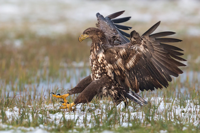 White-tailed Eagle Landing