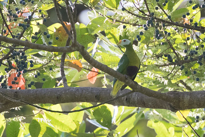 Carunculated Fruit-Dove (Ptilinopus granulifrons), Obi, Indonesia 20160913-122.jpg