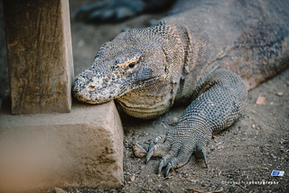 Komodo Dragon | by reubenteo