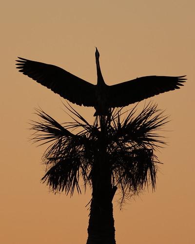 greatblueheron bird wildlife outdoor palm
