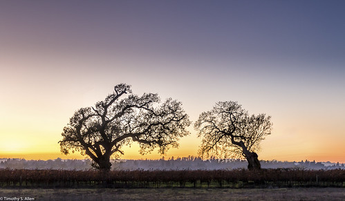 california lagunadesantarosa santarosa landscape silhoettes trees bluehour sunset oaktree vineyard vines nightphotography sonomacounty nature