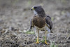 Swainson's Hawk by Jorge Obando Gutierrez