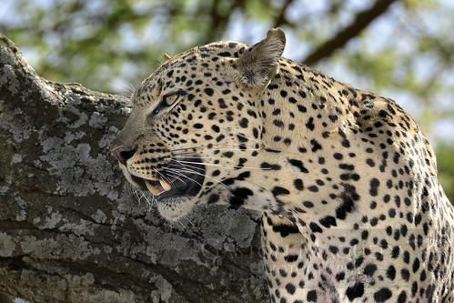 Leopardo - Leopard - Serengeti NP - Tanzania