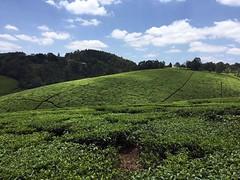 Kiambethu tea fram