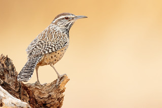 Cactus Wren | by Matt Bird Photography