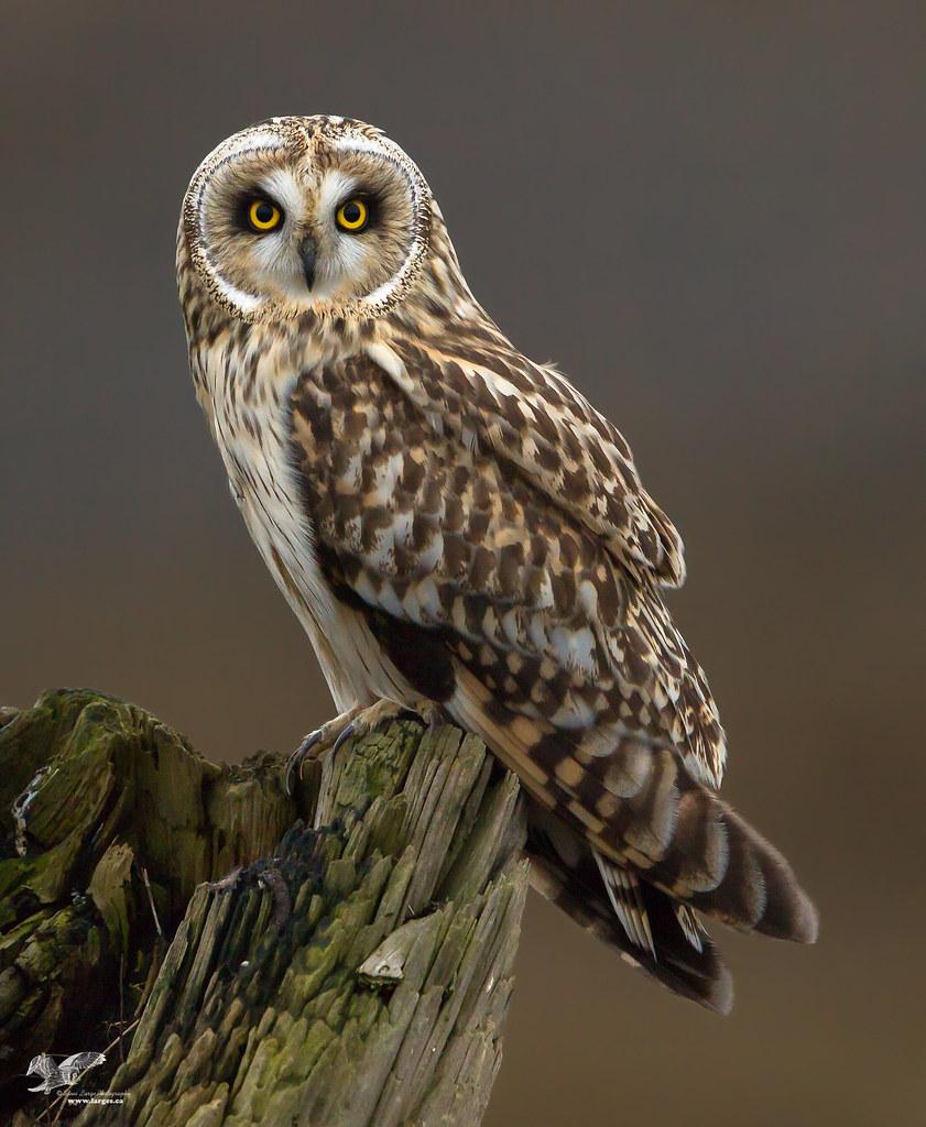 Beautiful Blonde (Short-Eared Owl)