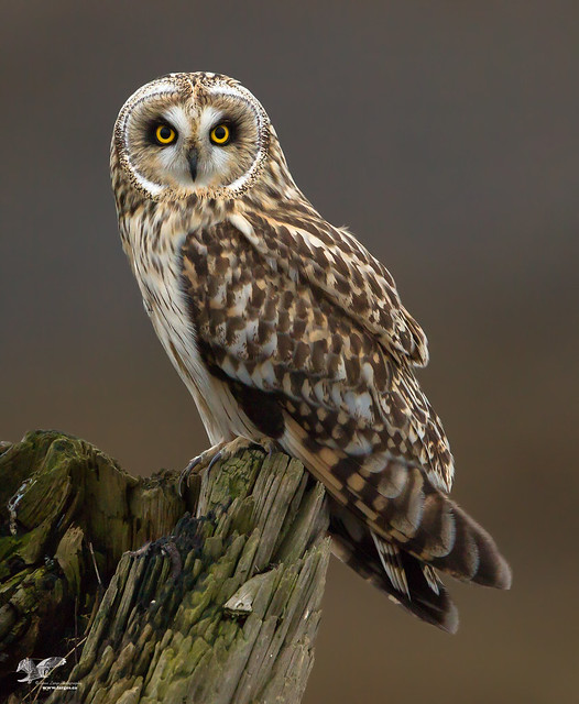 Beautiful Blonde (Short-Eared Owl)