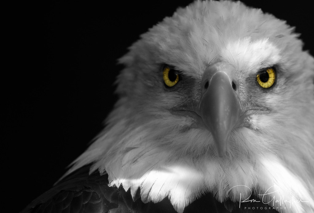 Black And White Photography Eagle
