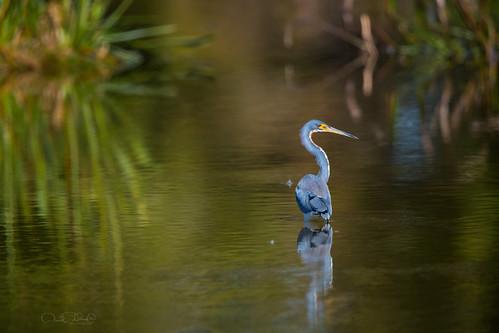 """tricoloredherons"" ""herons"" bird birds birding waders ""aquaticbirds"" ""birdsofnorthamerica"" ""birdsofflorida"" ""peacefulwaterssanctuary"" ""wellington"" ""florida"" ""children'swildlifebooksbydanielad'auriamd"" ""drdadbookscom"" ""danielad'auriamd"" ""wildlifephotography"" ""january2017"" ""wakodahatcheewetlands"" ""wakodahatchee"" ""march2017"" ""december2017"""