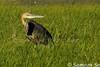 巨鷺 Goliath Heron (Ardea goliath), Kenya by Samson So Photography