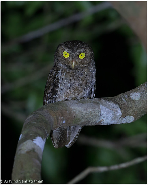 Andaman Scoops Owl