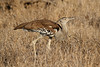 Ardeotis kori ♂ (Kori Bustard) - South Africa by Nick Dean1
